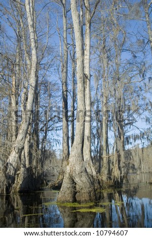cypress and tupelo trees in swamp - stock photo