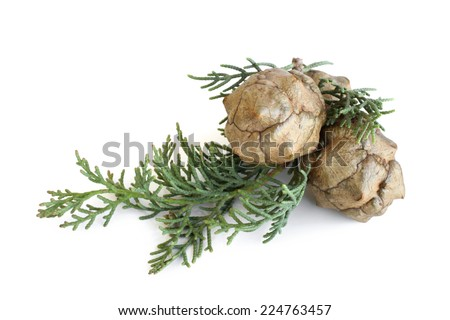 Cypress foliage and cones on white background - stock photo