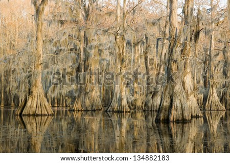 """Cypress forest at sunset and hanging from a strand Spanish moss in a state park, """"Caddo Lake"""", Texas, USA - stock photo"""