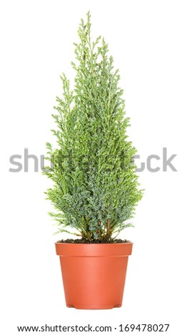 Cypress in pot, isolated on white background - stock photo