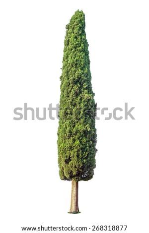 Cypress isolated on white background - stock photo