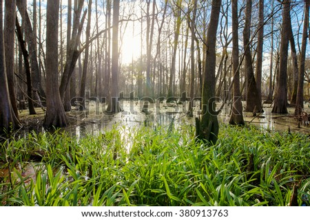Cypress swamp in northern Florida in early morning - stock photo