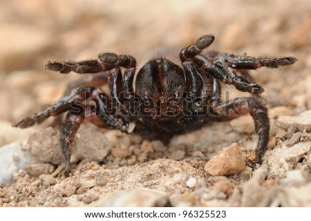 Cyrtauchenius sp. in defense position (rare endemic trapdoor spider) - stock photo