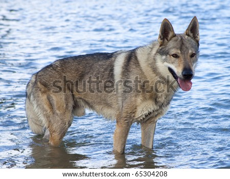 Czechoslovakian Wolf dog. - stock photo