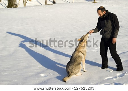 Czechoslovakian wolf dog being trained - stock photo