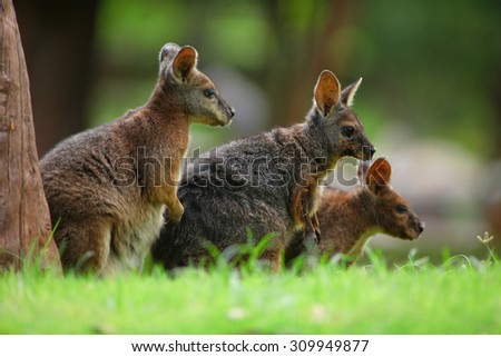 D kangaroo balls are normally looking for food. - stock photo