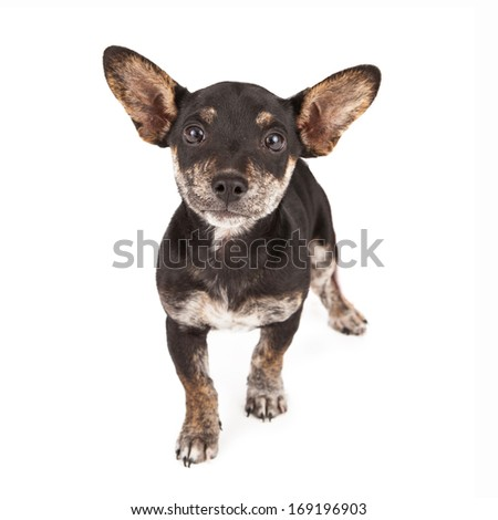 Dachshund and Chihuahua mixed breed dog standing against a white backdrop - stock photo