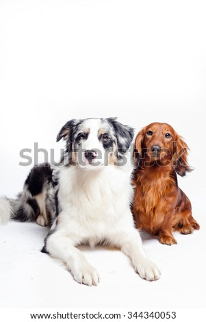 Dachshund, Australian sheepdog, Border Collie, Collie, Portrait, Friend, Night, Reflective, Christmas - stock photo
