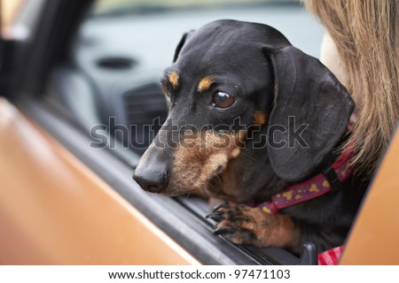 Dachshund breed looking eagerly out of vehicle window - stock photo