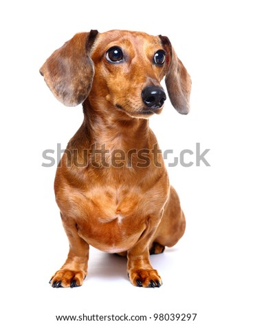 dachshund dog - stock photo
