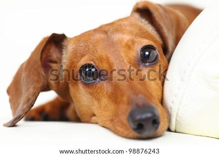 dachshund dog at home on sofa - stock photo