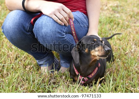 Dachshund dog being held on leash by owner - stock photo