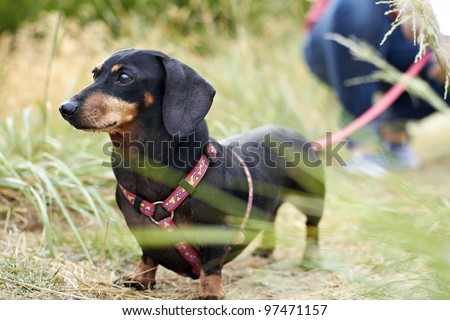 Dachshund dog breed looking ahead with leash extended - stock photo