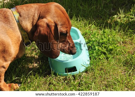 Dachshund dog drinks water on a hot summer day  - stock photo