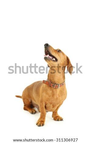 Dachshund dog isolated on a white - stock photo