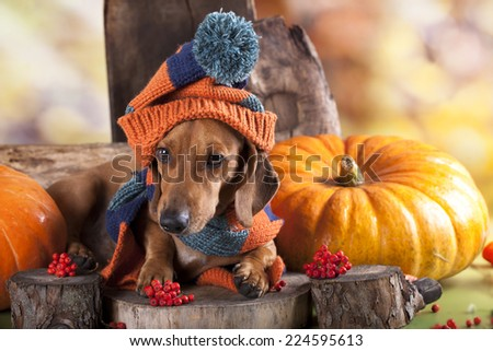 dachshund dog knitted hat and scarf - stock photo
