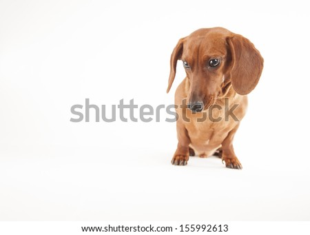 Dachshund dog on a white background - stock photo