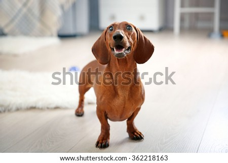 Dachshund dog playing in living room - stock photo