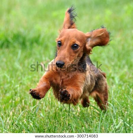 Dachshund dog running - stock photo