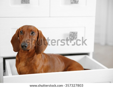 Dachshund dog sitting in chest of drawers in living room - stock photo