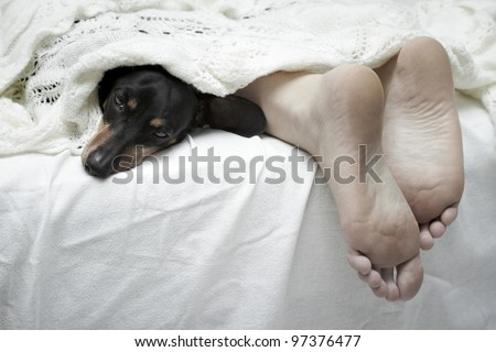 Dachshund dog sleeping beside feet - stock photo