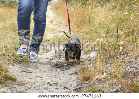 Dachshund dog walking down the path - stock photo