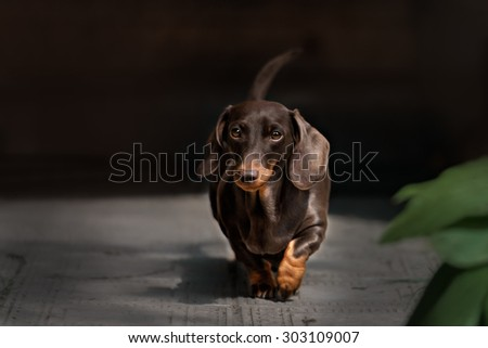 Dachshund dog walking on the green grass - stock photo
