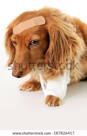 Dachshund dog wearing a bandage and band aid.  - stock photo