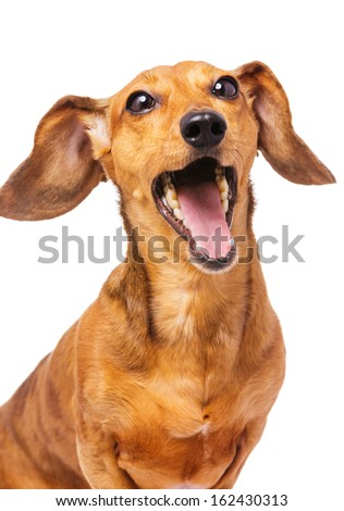 Dachshund dog yelling - stock photo