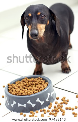 Dachshund eating dog food - stock photo