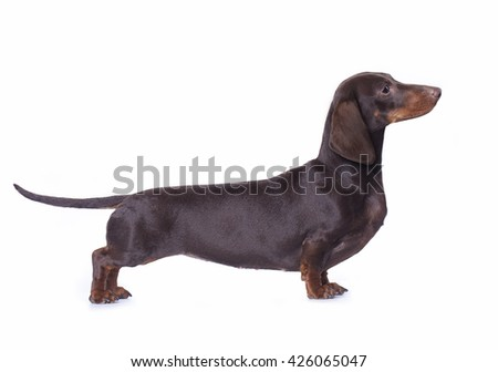 Dachshund , exhibition stand - stock photo