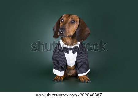 Dachshund in formal suit on a dark background - stock photo