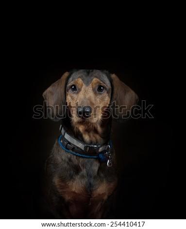 Dachshund in studio, on a black background - stock photo