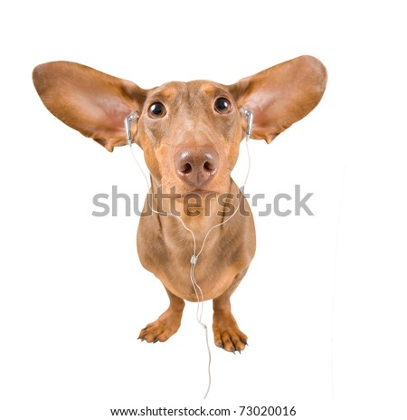 dachshund listening to music on an isolated white background - stock photo