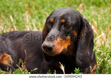Dachshund or Wiener dog, Portrait of two years old dog dachshund in the garden laying in the grass - stock photo
