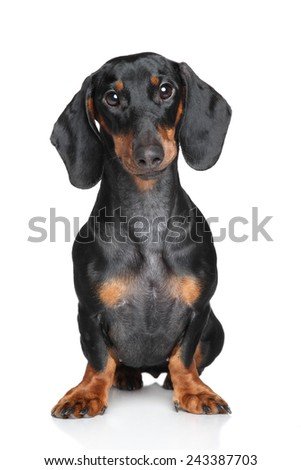 Dachshund Portrait on a white background - stock photo