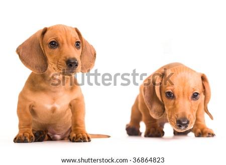 dachshund puppies - stock photo