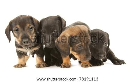 Dachshund puppies moving backward, isolated on white - stock photo