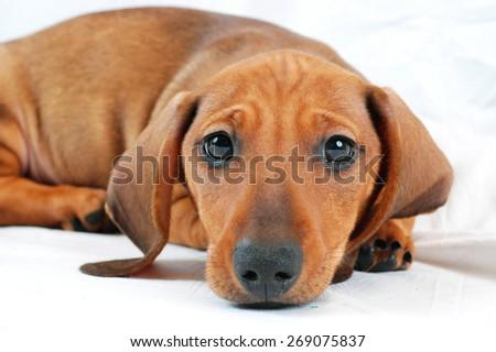 dachshund puppy - stock photo