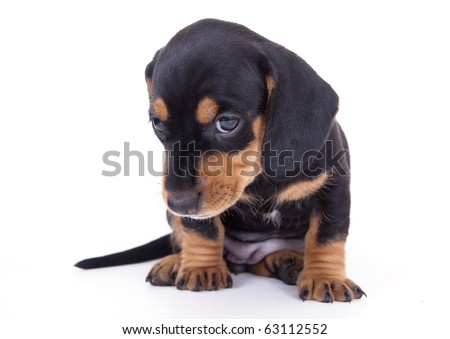 dachshund puppy - stock photo