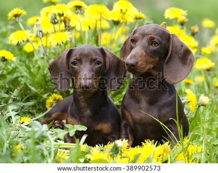 dachshund puppy and dandelions flowers - stock photo