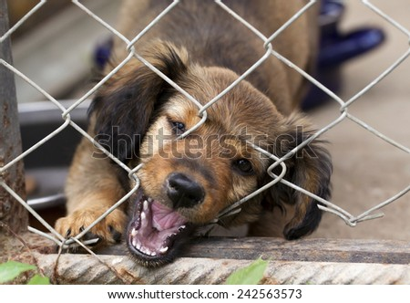 Dachshund puppy biting the wire mesh fence - he is trying to escape from his kennel - stock photo