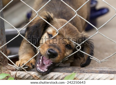 Dachshund puppy bitting the wire mesh fence - he is trying to escape from his kennel - stock photo