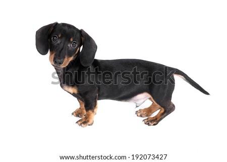 Dachshund puppy dog on a white background - stock photo