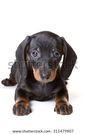 Dachshund puppy lying and looking at the camera (isolated on white) - stock photo