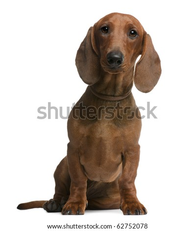 Dachshund puppy, 6 months old, sitting in front of white background - stock photo