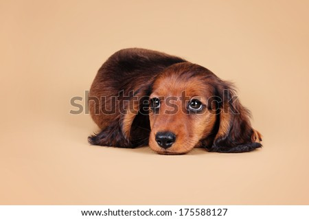 Dachshund puppy on a sandy background - stock photo