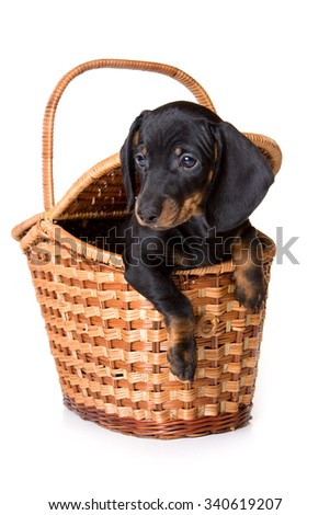 Dachshund puppy sitting in a basket (isolated on white) - stock photo