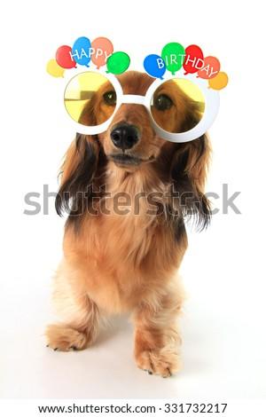 Dachshund puppy wearing Happy Birthday glasses. - stock photo