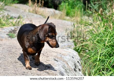 Dachshund seeks a frog - stock photo